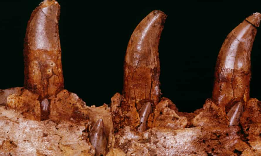 Teeth of a Megalosaurus. Photograph: Louie Psihoyos/Corbis