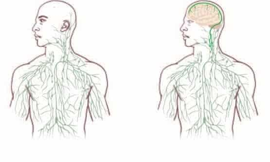 The lymphatic system as understood before the discover, left and and with the new vessels included, right.