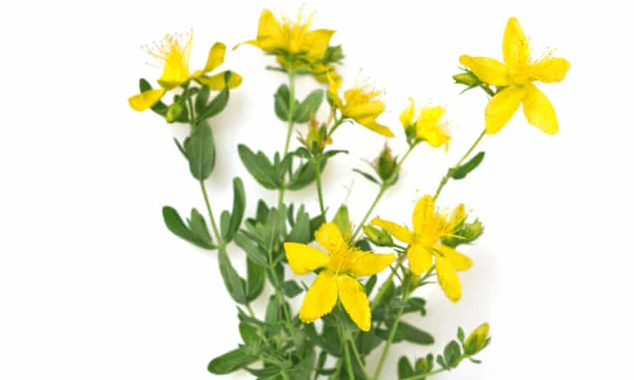 Trials suggest that St John's wort is as effective as prescribed antidepressant drugs.