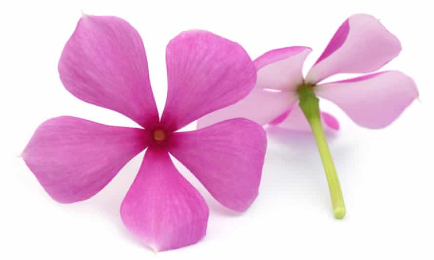 Many drugs used to treat cancer are derived from plants – such as vincristine, which comes from the periwinkle.