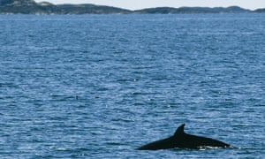 A minke whale slices through the sea off the Isle of Mull