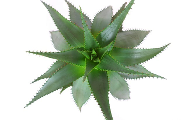 Aloe vera is used by some people with diabetes to lower blood sugar.
