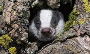 Badger cub (Meles meles), captive, UK