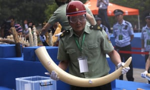 A government official carries an ivory tusk at a confiscated ivory destruction ceremony in Beijing.