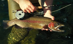 A large Rainbow trout about to be released by fly fisherman
