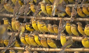 shows yellow-breasted buntings from a charge of 1600 that were confiscated at a trapping site in Foshan, in China's Guangdong province. The yellow-breasted bunting, a bird that was once one of the most abundant in Europe and Asia, is be