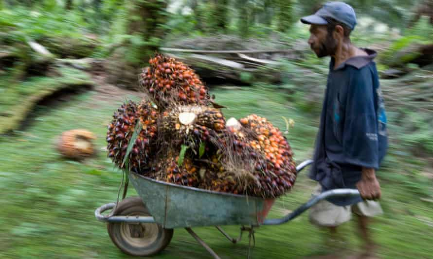 A worker cutting and collecting palm oil fruits.