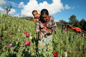 A woman farms in a poppy field in the district of Loilem, where few alternative ways to make a livelihood have been available. Women usually do this work since many men leave their villages to look for better wages in Thailand. Poppy cultivation requires intensive labour that leaves little time for growing other crops.