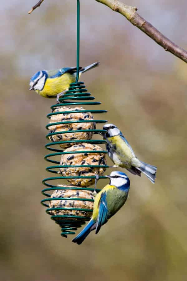 Blue Tits on a garden fat ball feeder.