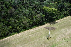 Daniel Beltrá, A fallen castaña tree lies in a soy field cleared from Amazon rainforest outside of Santarem, Brazil, September, 2013. Castaña trees are protected from harvesting by Brazilian law.