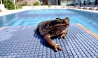 A cane toad by a swimming pool