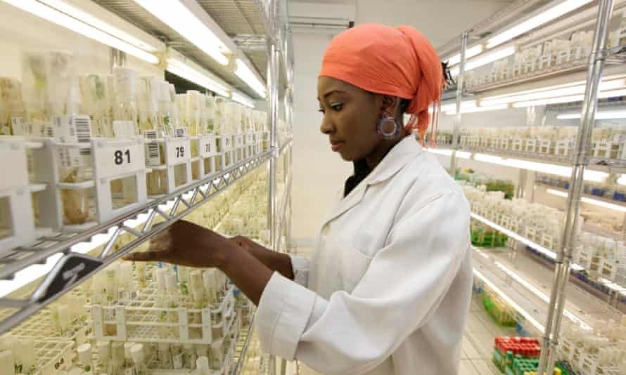 Shakirat Ajayi, sorts out cassava plants in a storage room at the International Institutes For Tropical Agriculture in Ibadan, Nigeria.