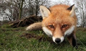 The red fox: 'Admired and anthropomorphised, nurtured and tortured for centuries.'