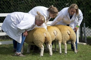 <strong>Harrogate, England </strong>Farmers check the display of their texel cross sheep as they are judged on the first day of the Great Yorkshire Show. The agricultural show, which was first held in 1838, showcases all aspects of country life and is set to attract around 130,000 visitors over its three days