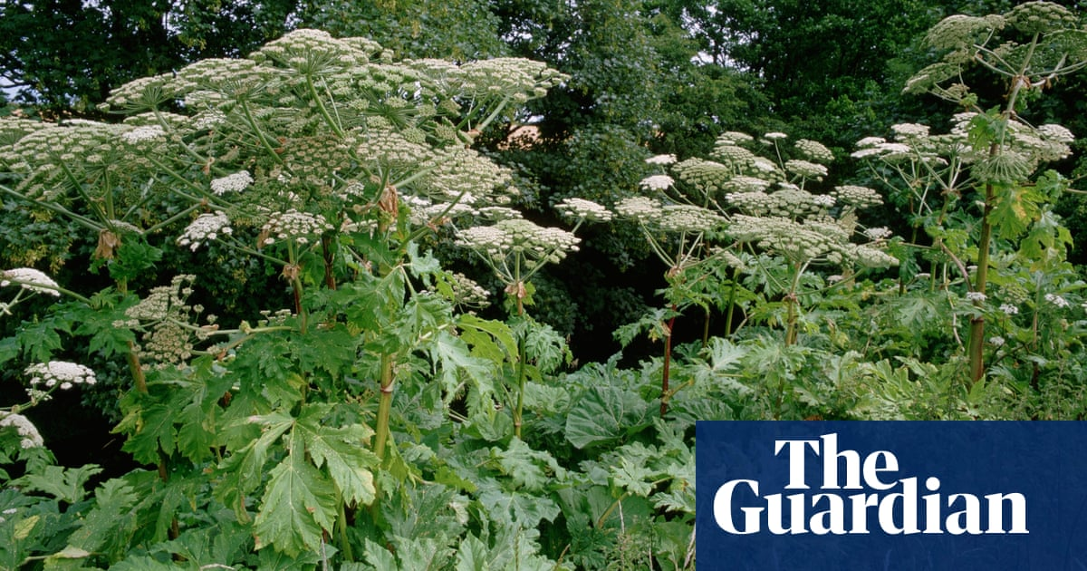 Giant Hogweed Digging Deeper Into The History Of A Killer Weed