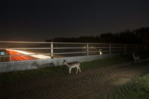 Fallow deer using a bridge to cross the M25 orbital motorway at night. With deer-vehicle collisions estimated at up to 74,000 per year in the UK (with over 450 human injuries), the growth of cities and expansion of road infrastructure calls for bridges and underpasses for the mammals