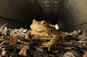 "A common toad uses an underpass. In Davis, California, tunnels under a six-lane road safely connect amphibians to their breeding ground at a nearby reservoir. The tunnel, which begins in a post office car park was decorated by the postmaster and named '<a href=""http://www.roadsideamerica.com/story/12663"">Toad Hollow</a>'"