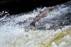A salmon attempting to leap upstream. At several points along Vancouver's Capilano River, 'fish ladders' have been installed for salmon and trout to migrate. The survival of many species relies on this movement up and down the river