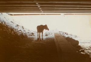 In Anchorage, Alaska, moose were the cause of 106 traffic accidents between 2000 and 2010 on a main route into the city. A fence has been installed lining the highway, directing the animals to a safe underpass on the outskirts of the city. A moose on the pathway at the Ship Creek Underpass, northeast of Anchorage