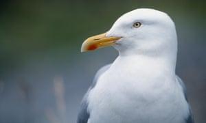 Adult European herring gull, Larus argentatus.