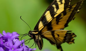 A swallowtail shows off its tiger stripes
