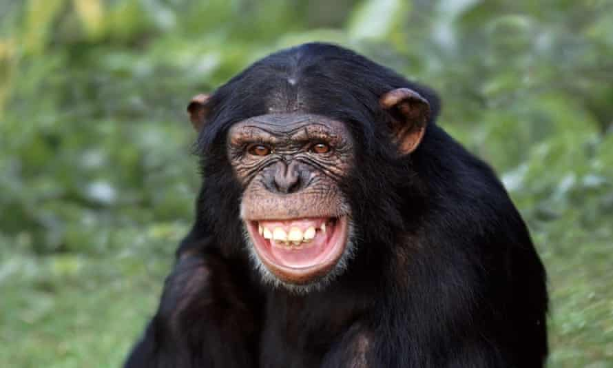 A chimpanzee alpha male would never think of using his power in order to go on holiday into the territory of a neighbouring chimpanzee band.