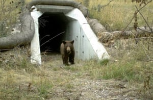 A black bear crossing beneath Highway 93 in western Canada.