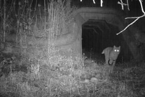 A bobcat emerges from another tunnel beneath Highway 93N.