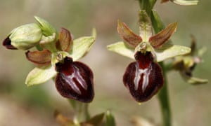 Blossoms of the early spider orchid, Ophrys sphegodes, Lake Neusiedl, Burgenland, Austria.