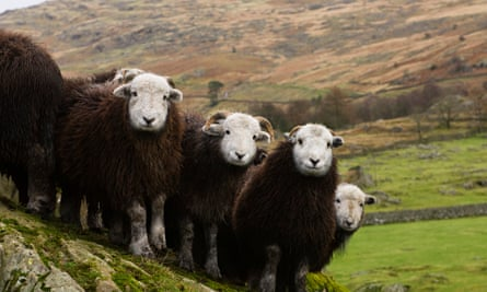 A flock of herdwick lambs in the Lake District.