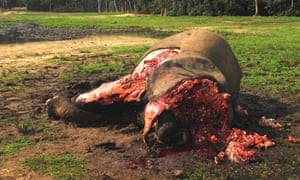 A forest elephant slaughtered for its ivory tusks. Poachers cut off the elephants' face in order to obtain the tusks.