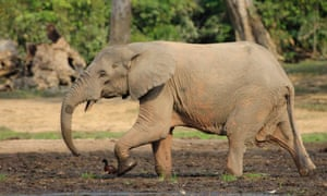 Forest elephants are smaller than savanna elephants and sport straighter tusks among other physical differences.