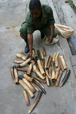 Confiscated ivory tusks from killed forest elephants in the Okapi Wildlife Reserve in the Democratic Republic of the Congo. Tusks are considerably smaller than they were in the past.