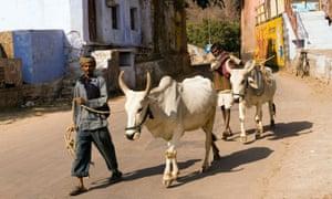 India Rajasthan Bundi men leading oxen through the old town