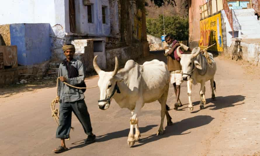 India Rajasthan Bundi men leading oxen through the old town