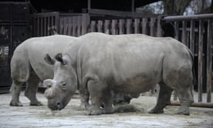 Only four northern white rhinos remain worldwide after a 31-year-old female named Nabire (right) died in the Czech Republic late on 27 July 2015.