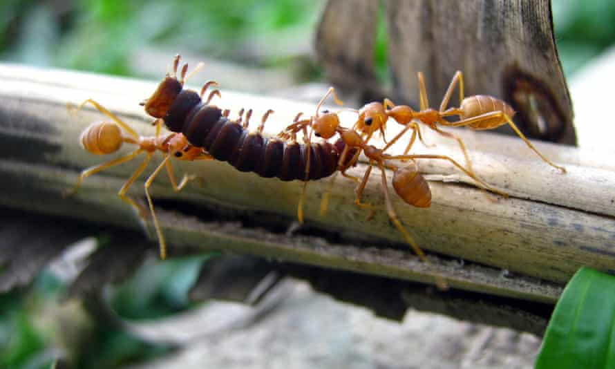 A few ants carry a much larger insect for food.