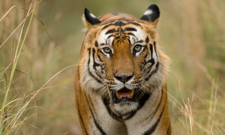 Bhutan has 103 tigers, but numbers are unknown in Indonesia, Thailand and Burma, and there are thought to be no breeding populations in Cambodia, Vietnam and Laos.