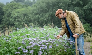 Kind of blue: getting ready to dig in Phacelia (green manure.)