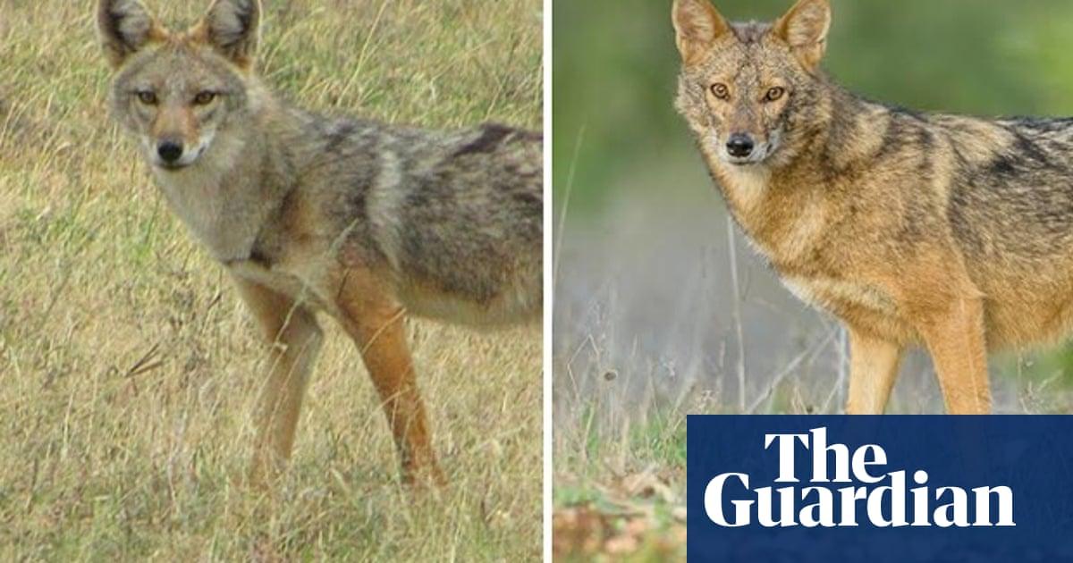 Golden jackal: A new wolf species hiding in plain view