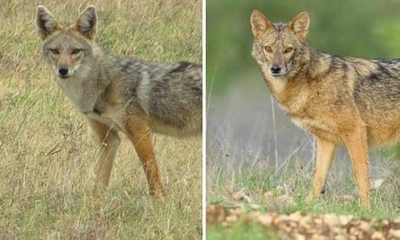 Same or different? African golden wolf, <em>Canis anthus</em>, (left) and Eurasian golden jackal, <em>C. aureus</em> (right).