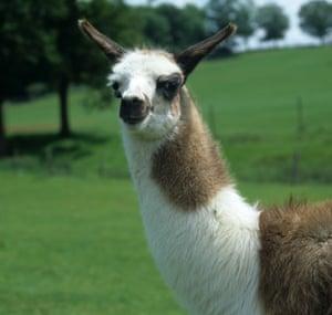 A llama on a Sussex farm