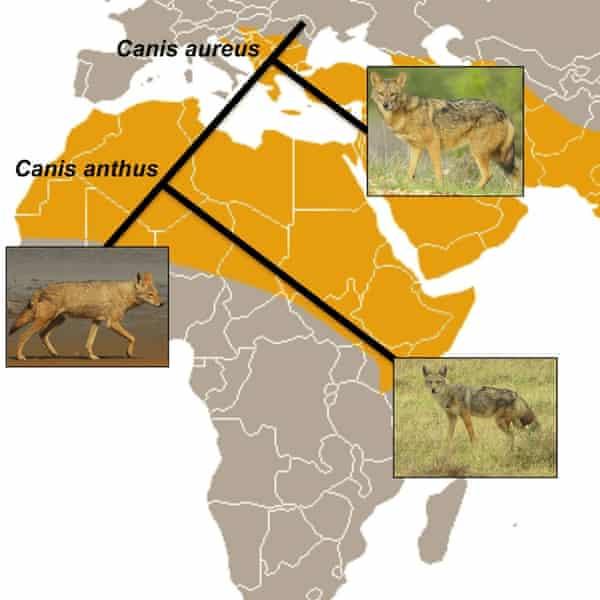 phylogeography of the golden jackal/golden wolf
