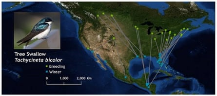 tree swallow migratory connectivity map