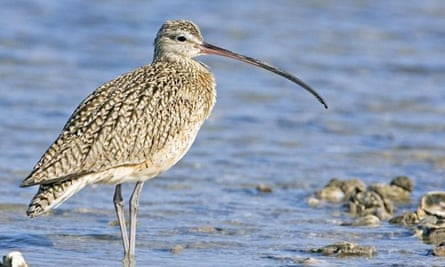 Long-billed curlew