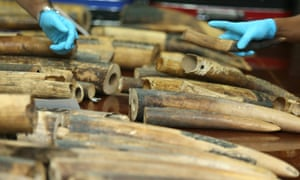 Thai authorities seized more than a hundred pieces of smuggle ivory tusks estimated 10 million Thai baht (about 295,500 US dollar or 267,860 euro) and weighing about 250 kilogram. The ivory was found inside a box while passing through an X-ray machine at the airport in Bangkok on 03 July 2015. The tusks, coming from Congo, were destined to travel to Laos via Bangkok, officials said.