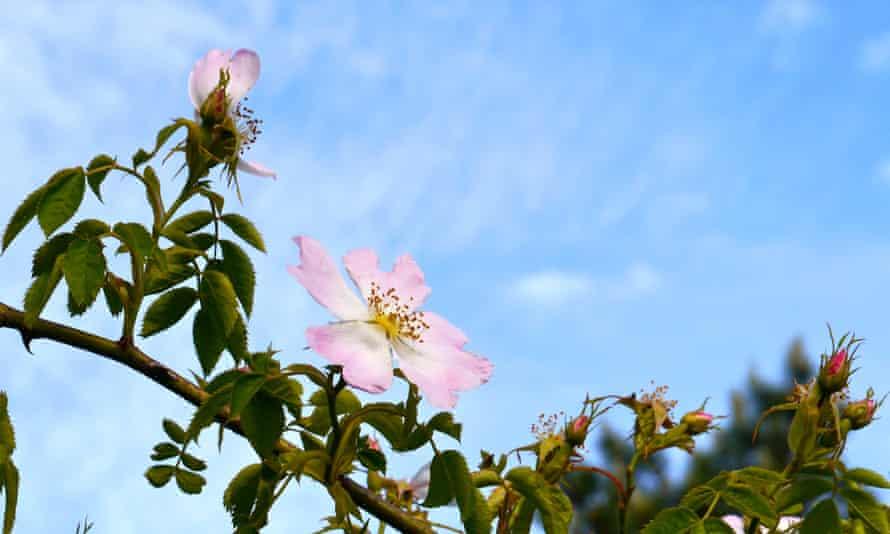 'Pastoral eglantine' … the sweet briar rose