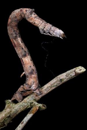Lytrosis unitaria on a twig