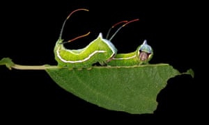 Cerura scitiscripta on willow leaf