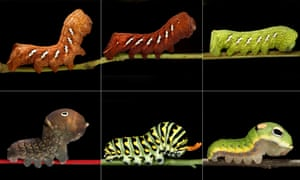 Three colours of the Achemon Sphinx caterpillar and three varieties of swallowtail caterpillars
